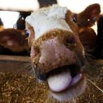 Čime se hrane krave?